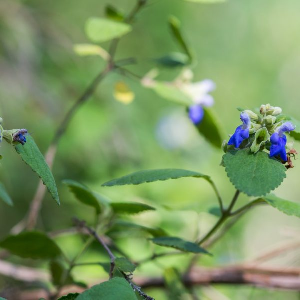Shrubby blue sage leaves and flowers.