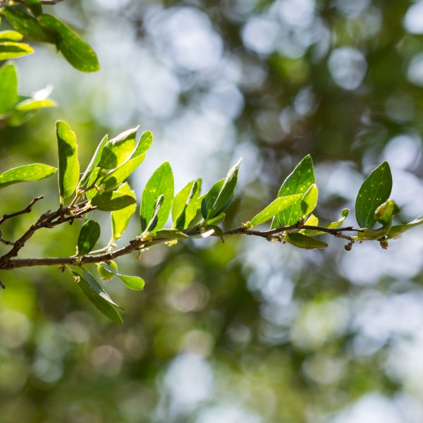 Spiny hackberry leaves.