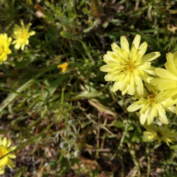 Texas dandelion leaves and flowers.