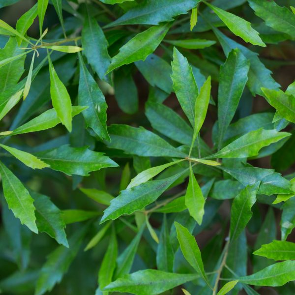 Wax myrtle leaves.