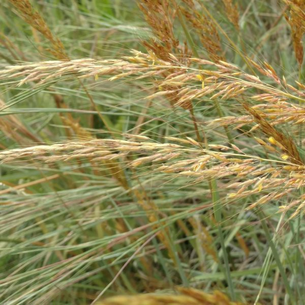 Yellow Indian grass leaves and flowers.