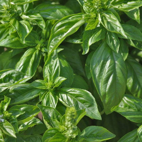 Basil leaves and flower buds.