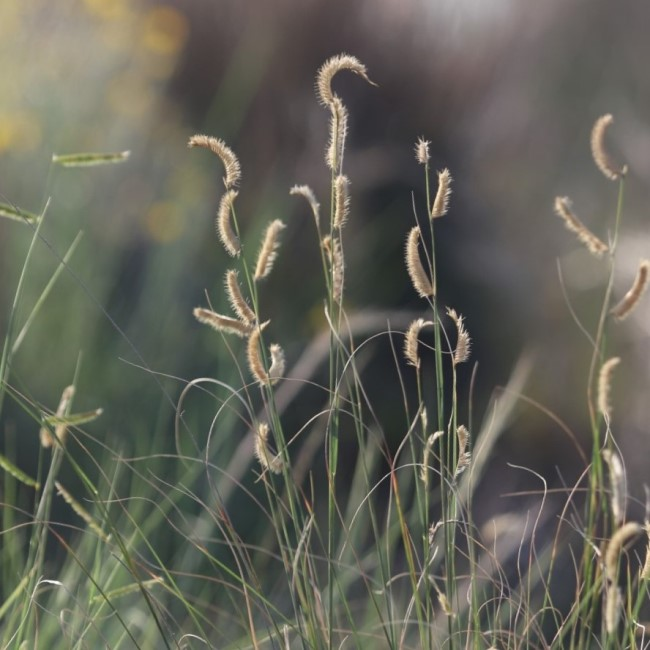 Blue grama grass with seedheads.