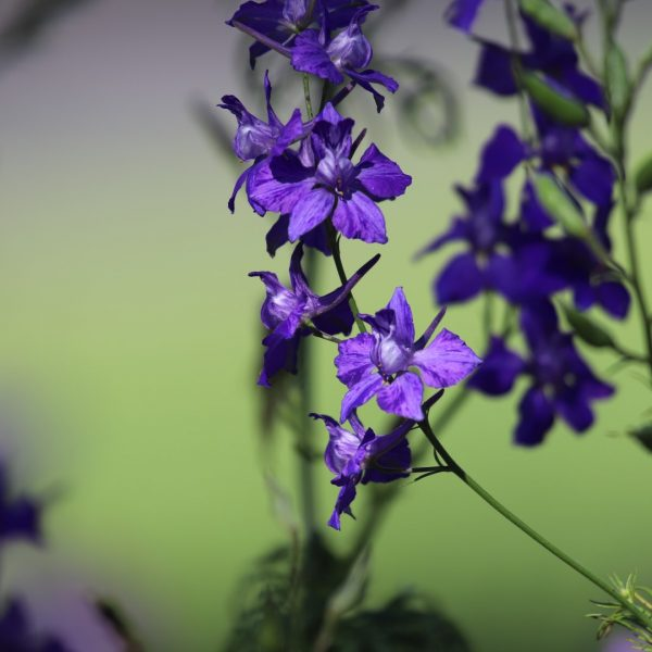Bunny-faced larkspur, showing flowers.