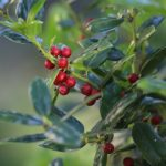 Burford holly leaves and berries.