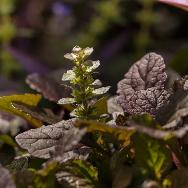 Carpet bugleweed leaves with flowers.