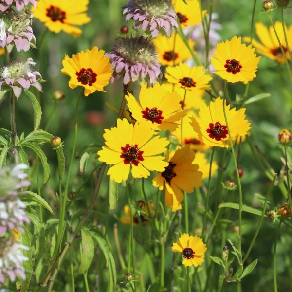 Coreopsis flowers.