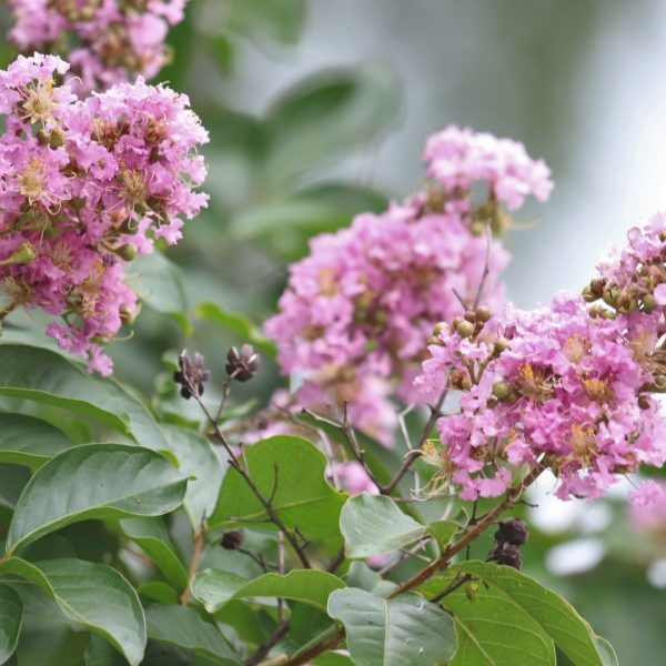 Crape myrtle leaves and flowers.