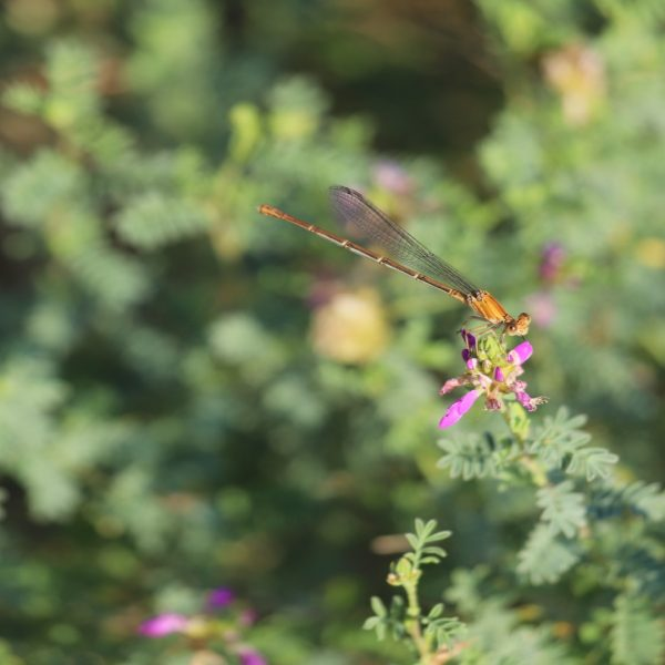 Black dalea flowers, with dragonfly.