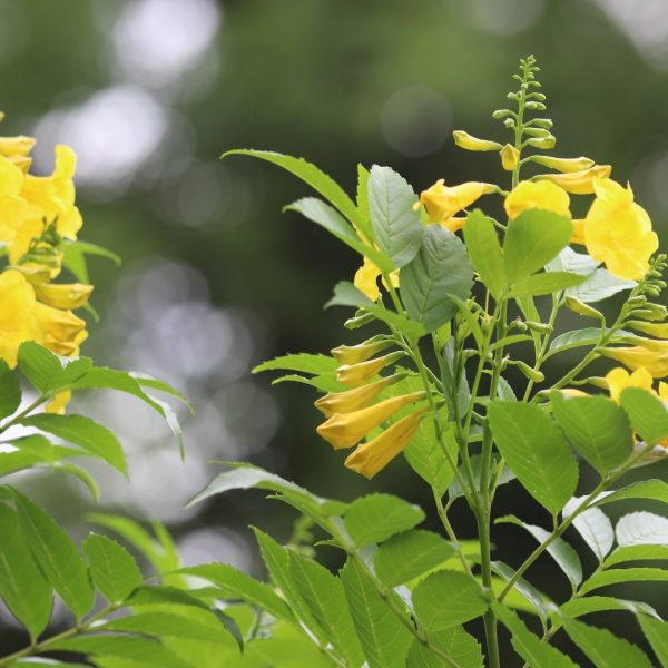 Esperanza yellow bells leaves and flowers.