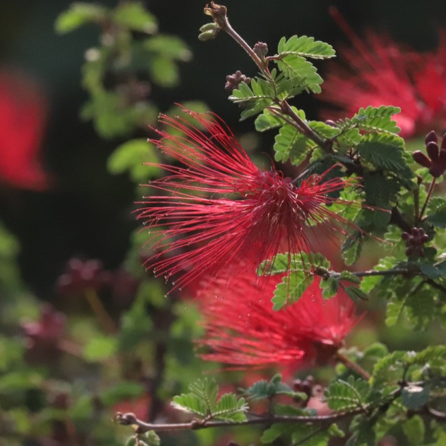 Fairy duster flowers.