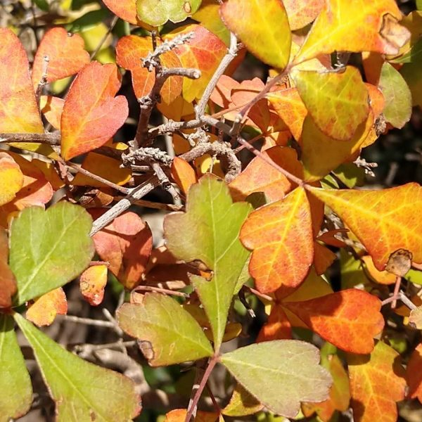 Fragrant sumac leaves in autumn.