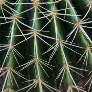 Golden barrel cactus leaves and spines.