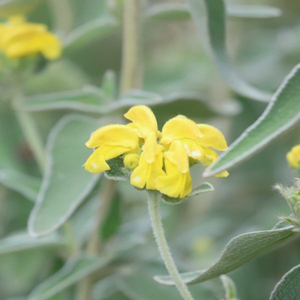 Jerusalem sage leaves and flowers.