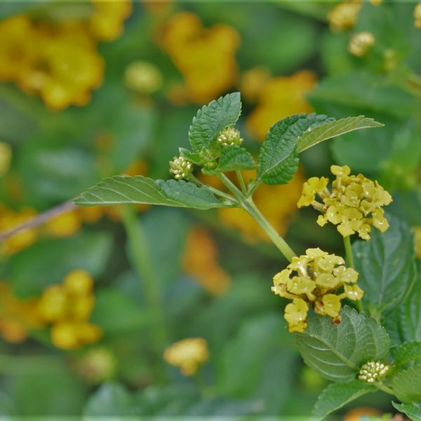 New Gold lantana flowers and leaves.