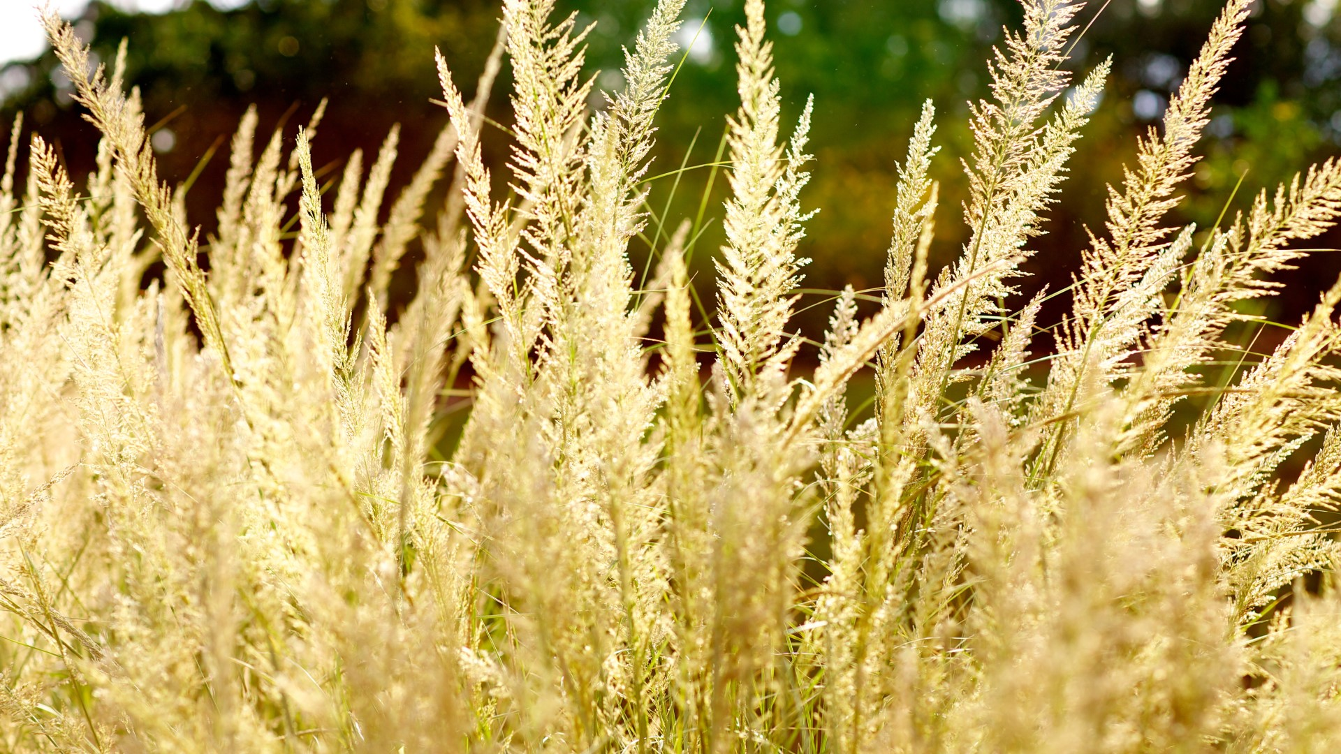 Lindheimer's muhly flowers.