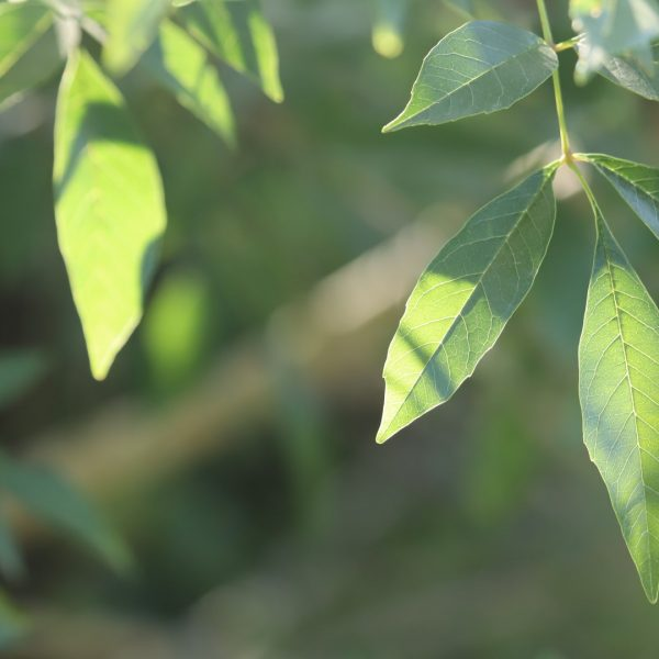 Mexican ash leaves.