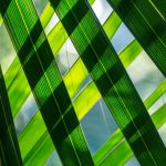 Mexican sabal palm leaves.