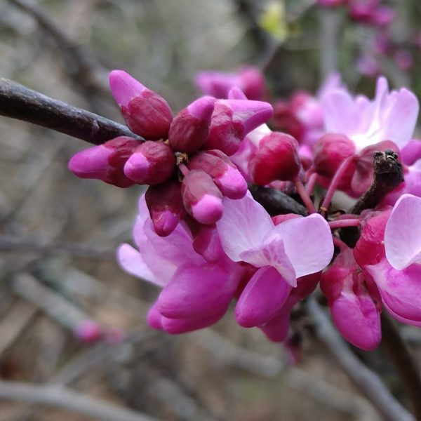Mexican redbud flowers.