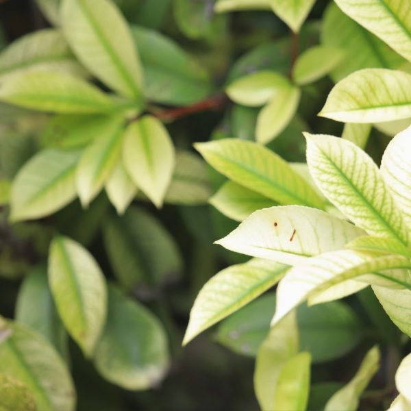 Red-tip photinia showing leaf spots.