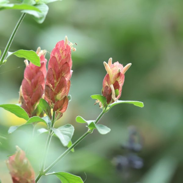 Shrimp plant leaves, bracts and flowers.