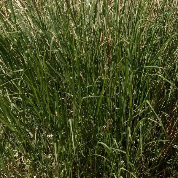 Switchgrass leaves.