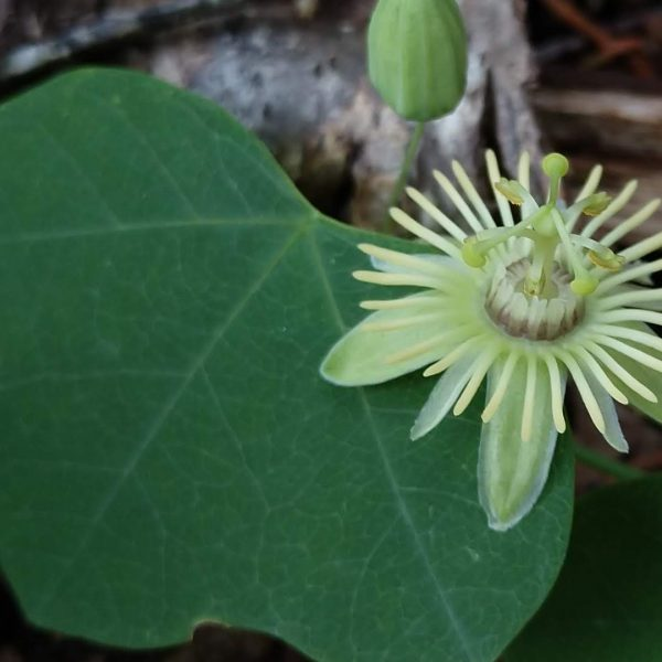 Yellow passionflower leaves and flowers.