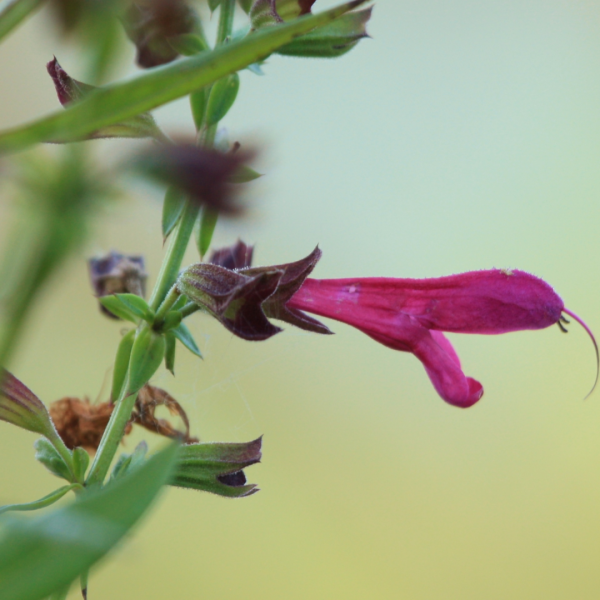 Big red sage flower.