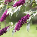 Butterfly bush flowers.