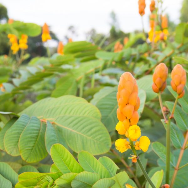 Candlestick plant leaves and