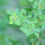 Fragrant sumac leaves.