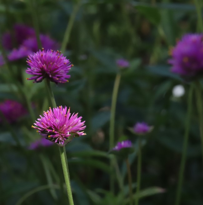 Globe amaranth flowers.