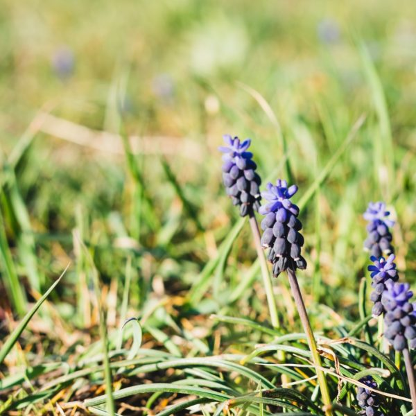Grape hyacinth flowers in grass.
