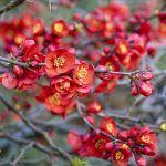 Japanese quince flowers.