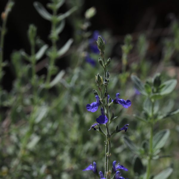 Mexican blue sage leaves and flowers.