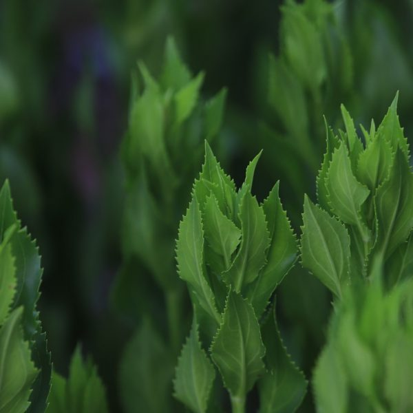 Obedient plant leaves.