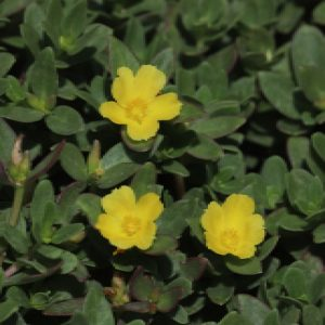 Purslane leaves and flowers.