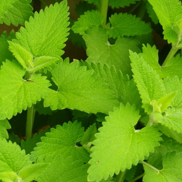 catmint-nepeta-cataria-detail-1920x1080-gettyimages-186867769