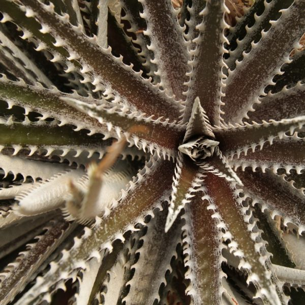 dyckia-sp-detail-1920x1080-gettyimages-492361236