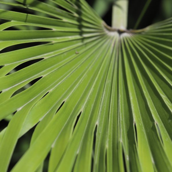 Windmill palm leaves.