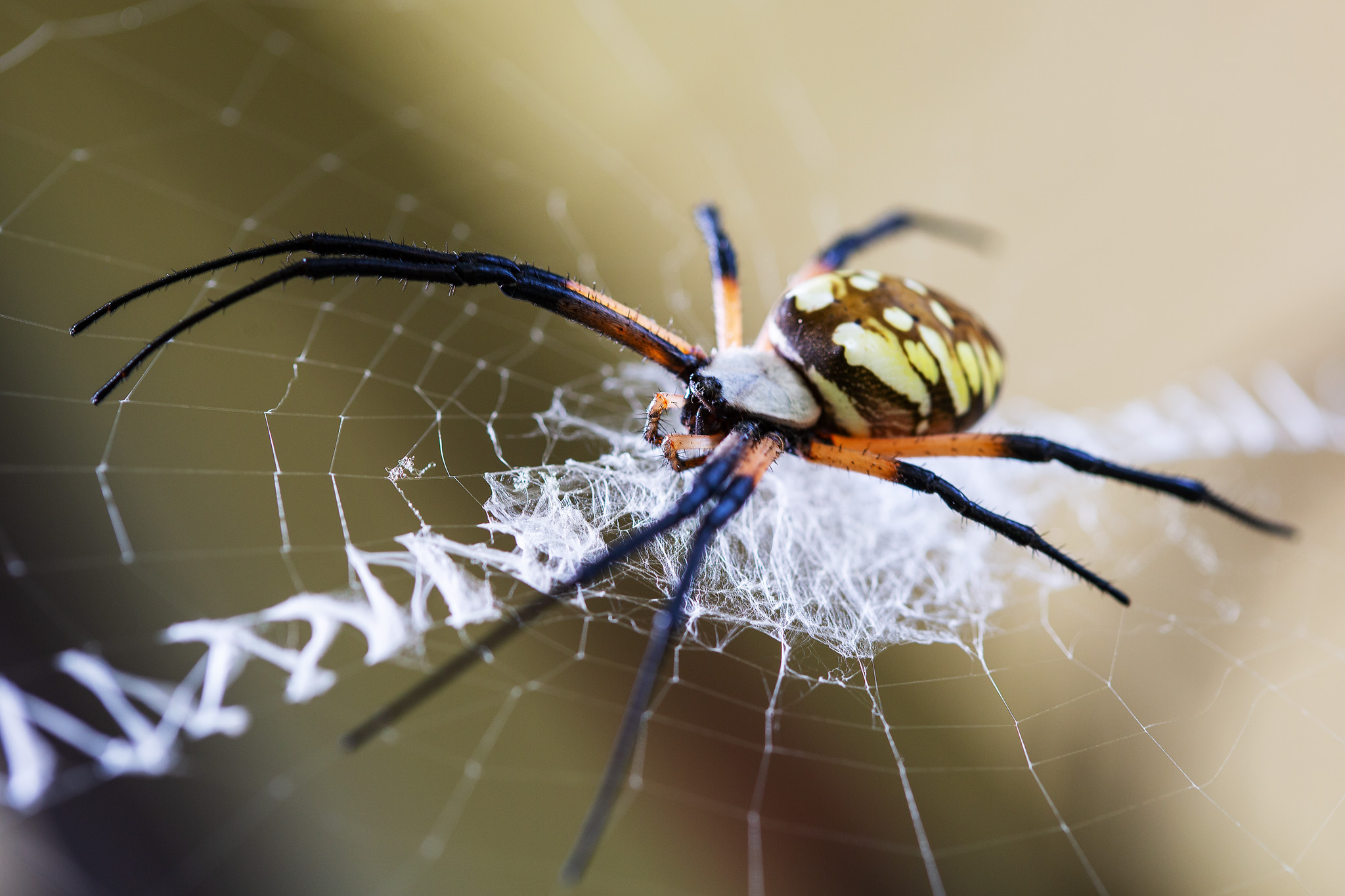orb weaver spider showing off stabilimentum