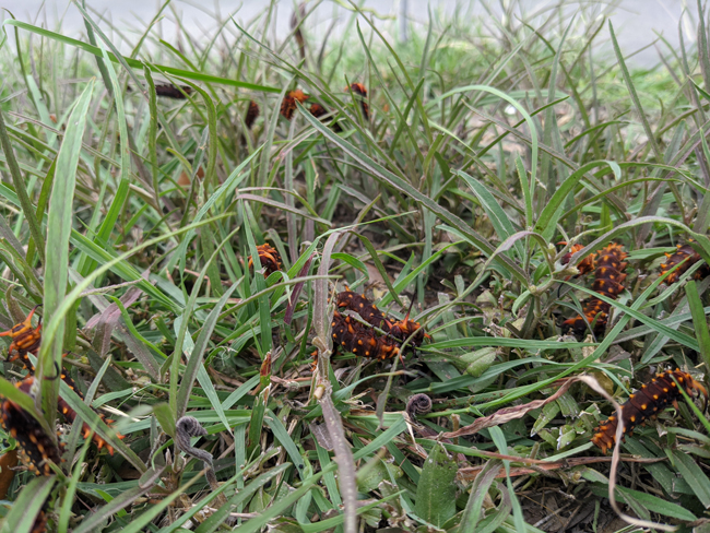 pipevine swallowtail butterfly larvae in grass