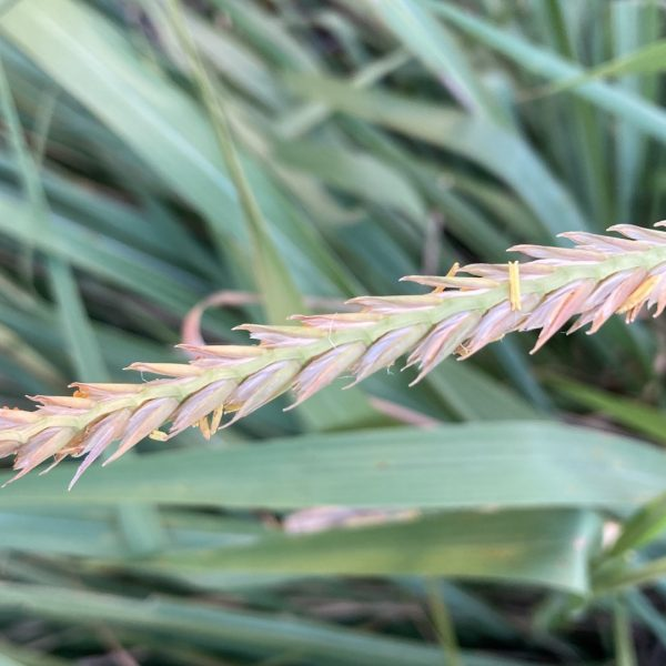 Gamma grass leaves with seedhead.