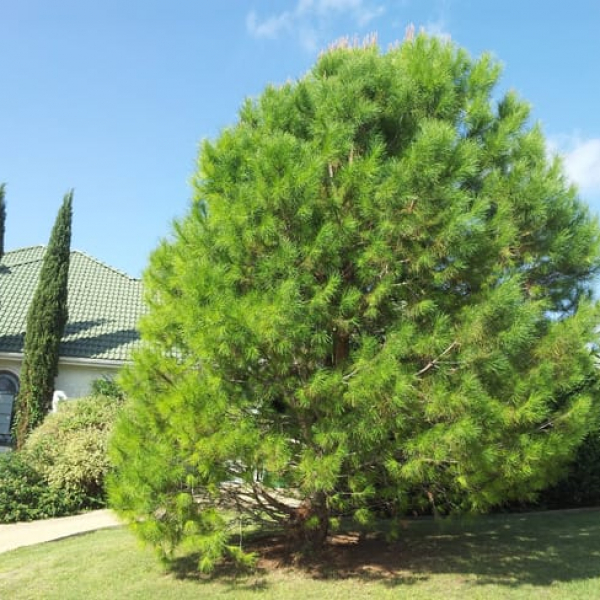 1488554849Pine-Aleppo-Pinus-halapensis-form-good.jpg