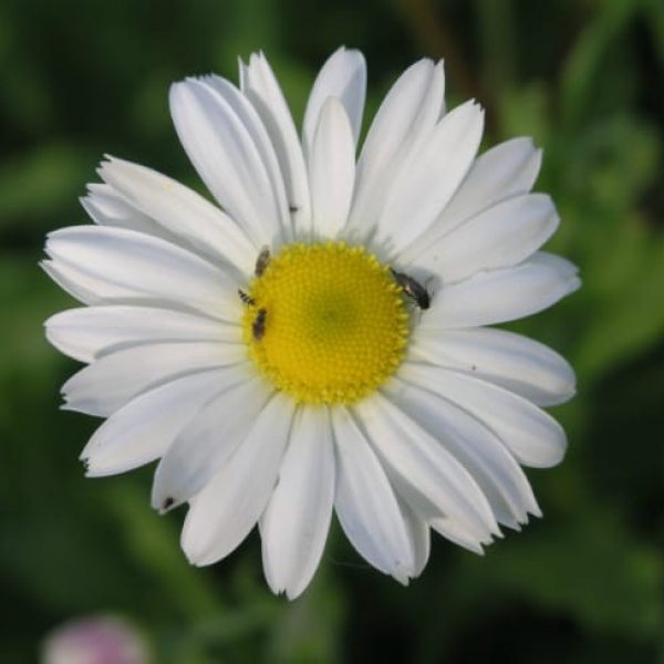 1488556018Lazy-Daisy-Aphanostephus-skirrhobasis-bloom-detail.jpg