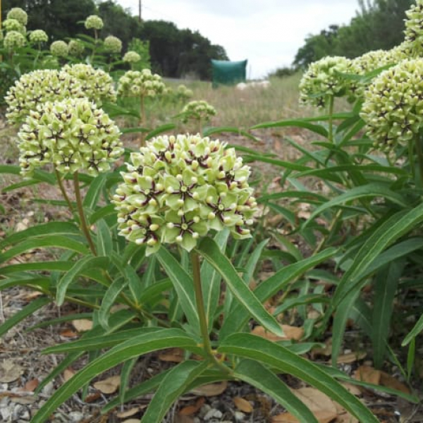 1488562372Milkweed-green-flowered-Aesclepias-asperula-form-roadside.jpg