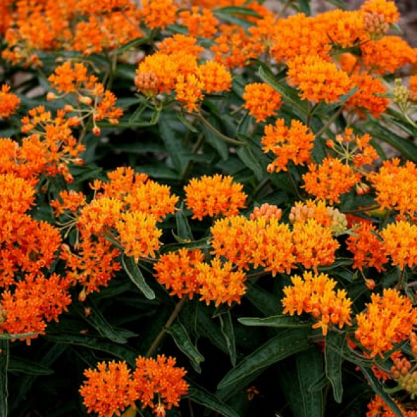 1488562623Butterfly-weed-Asclepias-tuberosa-detail-.jpg