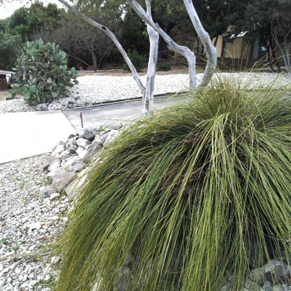 1488572498Basketgrass-Nolina-texana-driveway-and-street-scene-with-prickly-pear-and-persimmon.jpg
