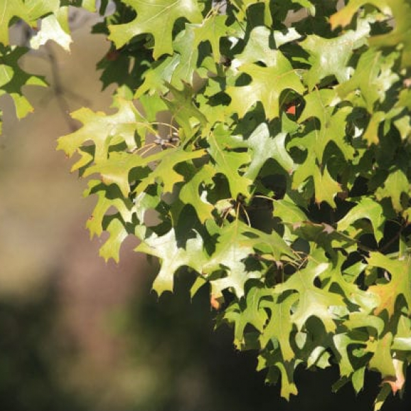 1488573574Oak_Red_Quercus_texana_detail_leaf.jpg