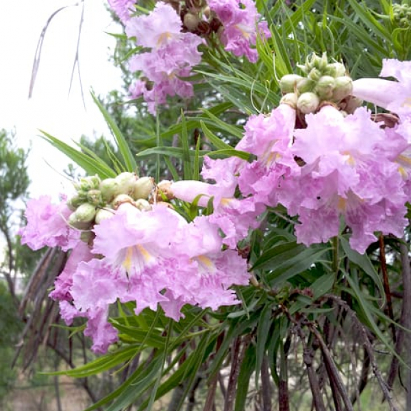 1488804869Desert-willow-Chitalpa-linearis-detail-flower-pink-with-seeds.jpg